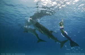 Mermaid Kat swimming with whale sharks underwater