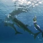 Mermaid Kat swimming with whale sharks underwater in Cebu