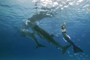 Mermaid Kat swimming with whale sharks underwater in Cebu