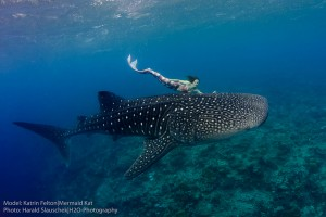Perth Mermaid Kat swimming with Whale Sharks in the Maldives