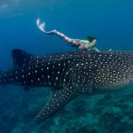 Underwater model mermaid swimming with whale sharks